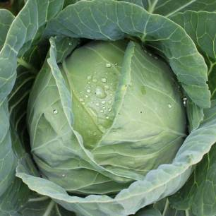 cabbage-head-perfect-close-kel